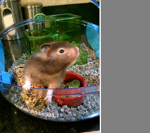 Rose the hampster