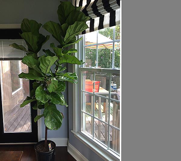 Fiddle Fig Leaf Tree