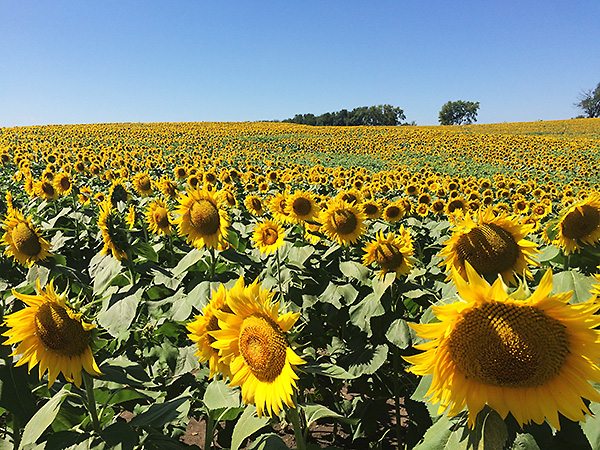 Grinter Farms Sunflowers